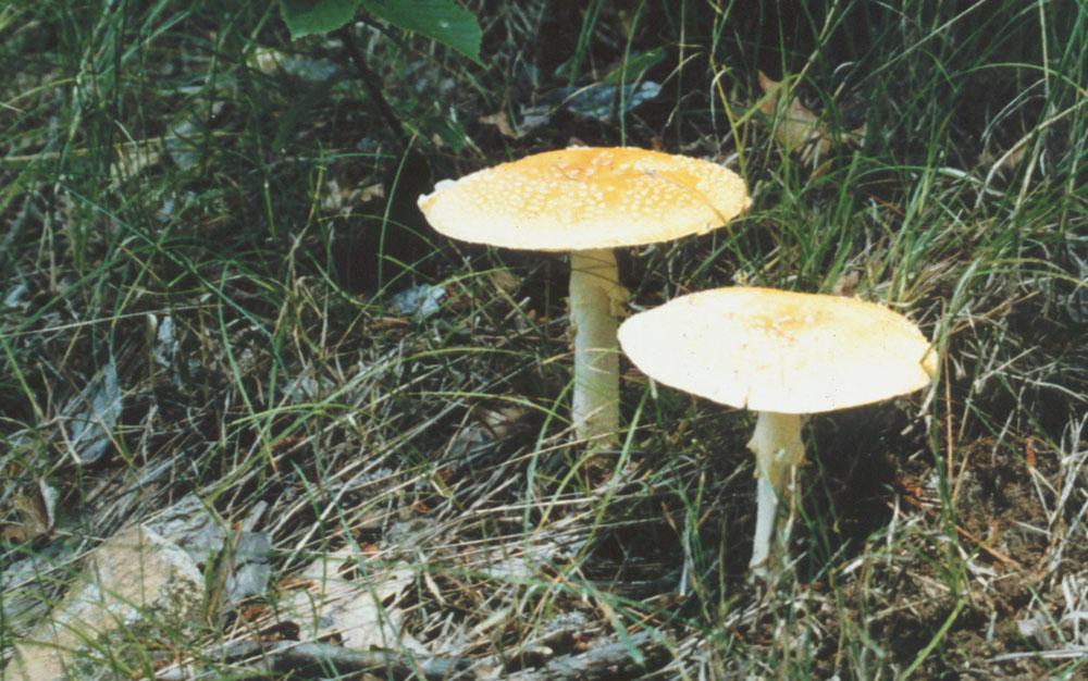 CD-Mushroom1