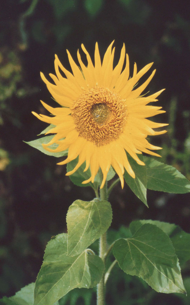CD-Sunflower