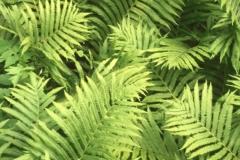 A-Ferns
