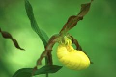 CD-YellowLadysSlipper1